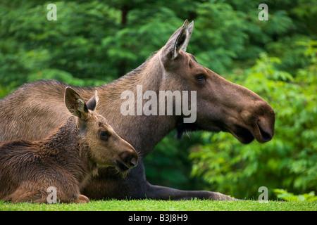 A cow and calf moose near Seward Alaska - Stock Photo