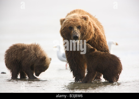 A Grizzly Bear sow with cubs Lake Clark National Park Alaska - Stock Photo