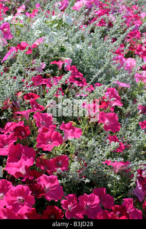 MUNICIPAL AMENITY PLANTINGS AT CHAUMONT LOIR ET CHER 41 USING PETUNIA AND HELICHRYSUM - Stock Photo