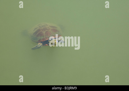 A western painted turtle Chrysemys picta bellii in a pond - Stock Photo