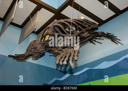 Ancient Archelon sea turtle skeleton from the Cretaceous period Florida - Stock Photo