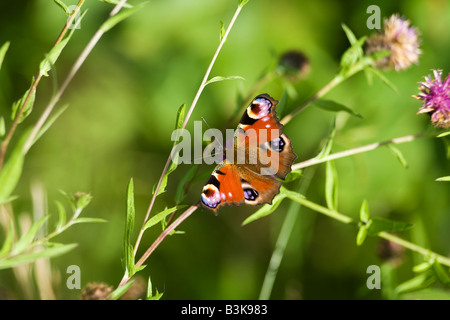 Peacock butterfly Inachis io on a sunny summers day Shropshire England United Kingdom GB Great Britain British Isles - Stock Photo
