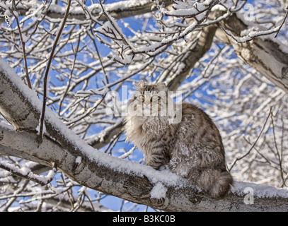 Highlander cat on a tree branch in winter snow against blue sky - Stock Photo