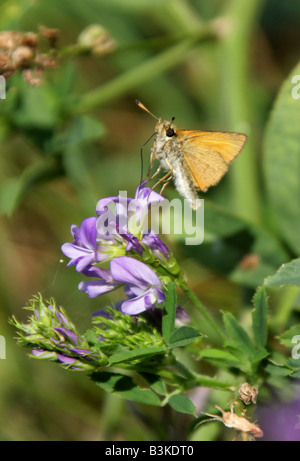Large Skipper Butterfly, Ochlodes sylvanus. Female Feeding on Lucerne, Medicago sativa. - Stock Photo