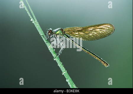 Banded Demoiselle Calopteryx splendens female perched dew covered Zug Switzerland - Stock Photo