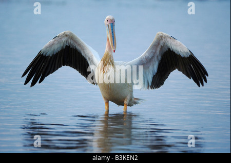 Eastern White Pelican Pelecanus onocrotalus adult Lake Nakuru Kenya Africa - Stock Photo