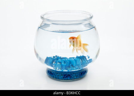 A fantailed goldfish, Carassius auratus, swims in a bowl - Stock Photo