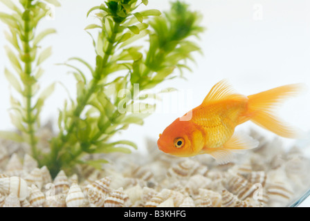 A fantailed goldfish Carassius auratus living in a bowl with an aquatic plant Elodea - Stock Photo