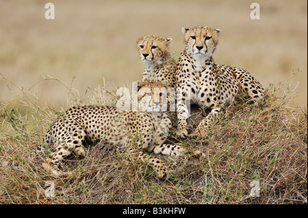 Cheetah Acinonyx jubatus female and young sitting on hill Masai Mara Kenya Africa - Stock Photo