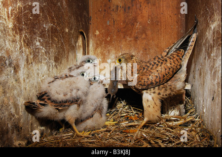 Common Kestrel Falco tinnunculus adult feeding young with mouse prey Switzerland - Stock Photo