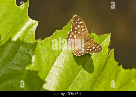 Speckled Wood Pararge Aegeria Butterfly - Stock Photo