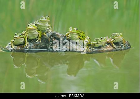 Edible Frog Rana esculenta adults on log Switzerland - Stock Photo