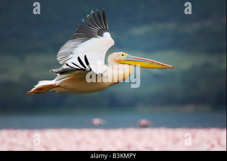 Eastern White Pelican Pelecanus onocrotalus adult in flight Lake Nakuru Kenya Africa - Stock Photo