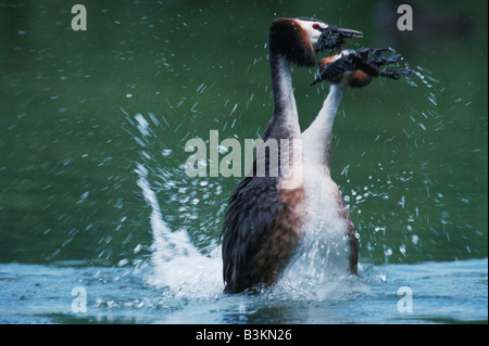 Great-crested Grebe Podiceps cristatus pair courting Switzerland - Stock Photo