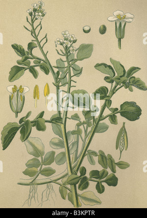 Historical chromo image 1880 of medicinal plant Watercress Nasturtium officinale - Stock Photo