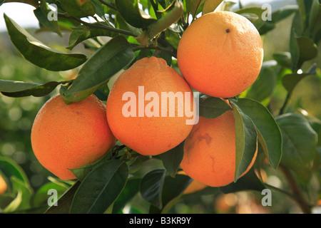 orange fruits on tree Portugal - Stock Photo