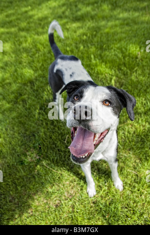 Black and white Great Dane mix dog outdoors in green grass panting with tongue out - Stock Photo