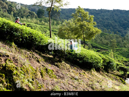 Indian female workers employed to hand pick tea leaves and then pack it in bundles in evergreen tea plantations - Stock Photo