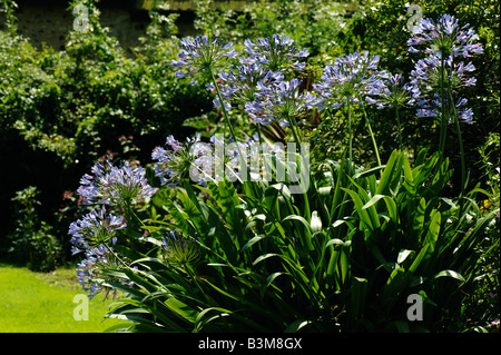 African blue lily Agapanthus africanus flowers backlit against a garden background - Stock Photo