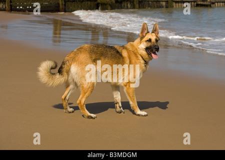 German Shepherd Dog running on Beach - Stock Photo