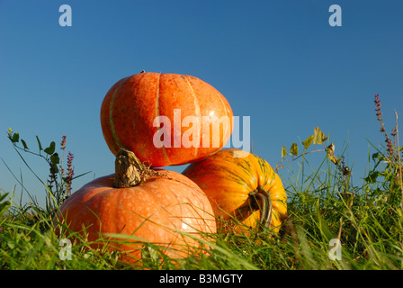 Pumpkins in grass against blue sky - Stock Photo