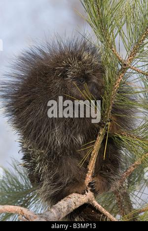 Porcupine Erethizon dorsatum in Pine Tree North America - Stock Photo