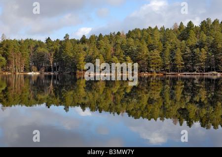Scots Pine Trees, Loch an Eilein, near Aviemore, Highlands, Scotland - Stock Photo