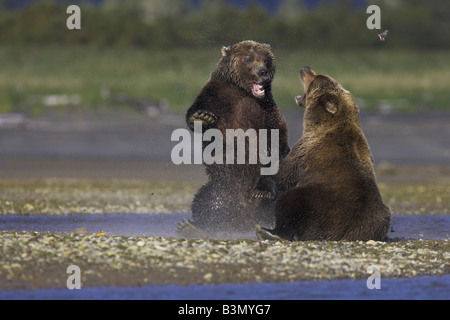 Grizzly Bear Ursus arctos females fighting over the rights to a salmon kill in Hallo Bay, Alaska in September. - Stock Photo