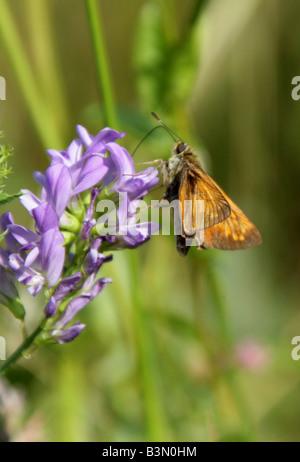 Large Skipper Butterfly, Ochlodes sylvanus. Male Feeding on Lucerne, Medicago sativa. - Stock Photo