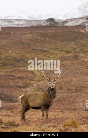 Red Deer stag in the Highlands, Glen Lyon, Perth and Kinross, Scotland - Stock Photo