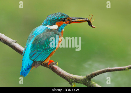 Common Kingfisher Alcedo atthis adult with dragonfly larvae prey Switzerland - Stock Photo