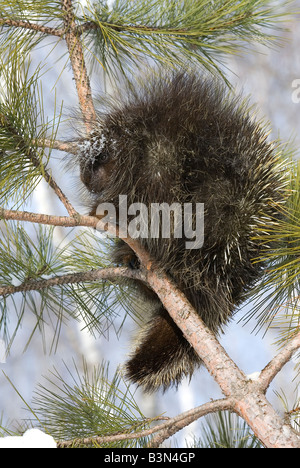 Porcupine Erethizon dorsatum in Pine Tree North America - Stock Photo