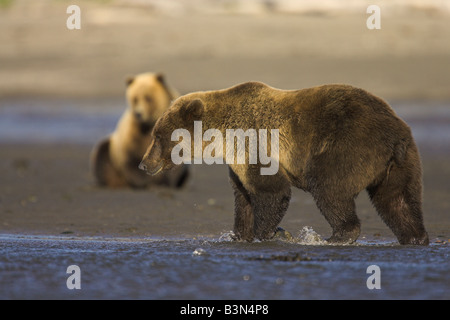Grizzly Bears Ursus arctos walking and resting on along shoreline in Hallo Bay, Alaska in September. - Stock Photo