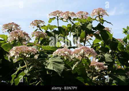 Sargent's Hydrangea or Lacecap, Hydrangea sargentiana, Hydrangeaceae, South and Central China - Stock Photo