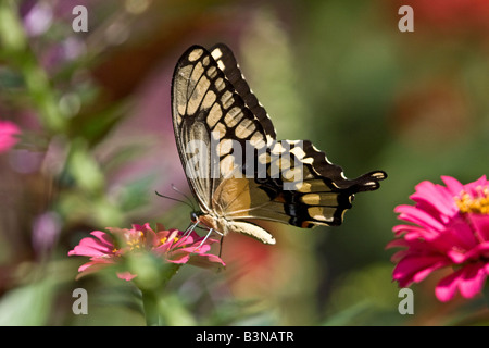 Giant Swallowtail Butterfly, Papilio cresphontes, feeding with wings folded. Leamings Run Gardens, Cape May Courthouse, NJ, USA