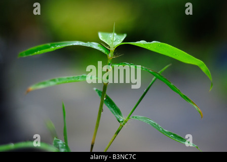 Close up of bamboo foliage Phyllostachys aurea - Stock Photo