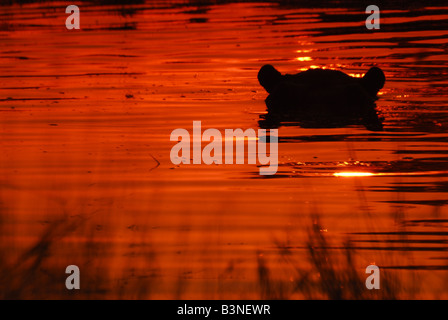 Hippo silhoute in lagoon. Sunset hour. - Stock Photo
