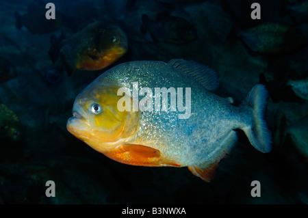 Piranha Serrasalmus sp captive - Stock Photo