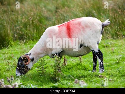 Recently shorn Swaledale sheep grazing Cumbria England uk - Stock Photo