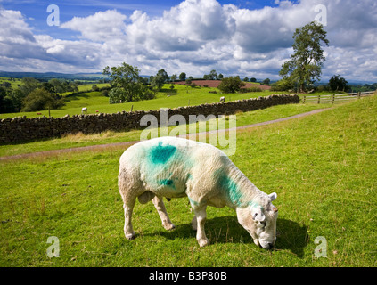 Single horn Texel ram grazing in the Teesdale countryside on the Cumbria border in England UK - Stock Photo