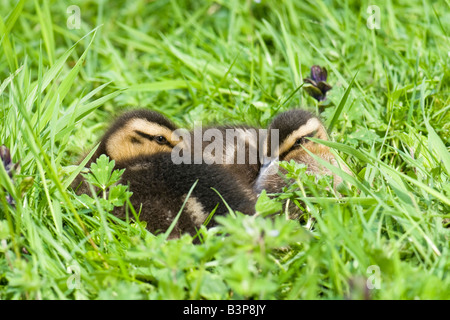 A pair of mallard ducklings resting together in grass - Stock Photo