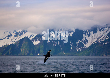 A breaching Orca whale along the Kenai Fjords National Park coast near Seward Alaska - Stock Photo