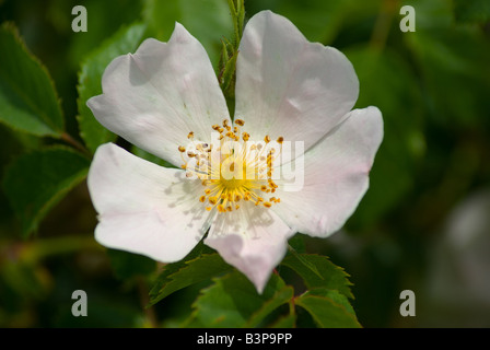 Rosa canina lit Dog Rose Rosehip - Stock Photo