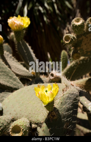 Flowering cactus plant in the Botanical Garden or Jardi Botanic in Valencia Spain - Stock Photo