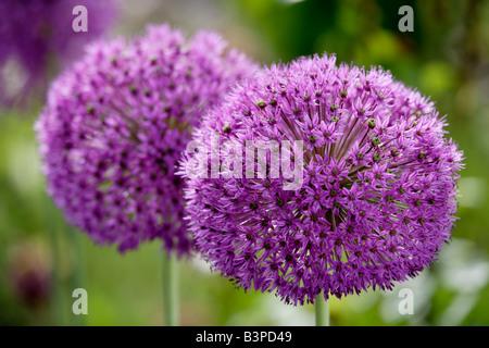 Star of Persia flowers (Allium christophii), close-up - Stock Photo
