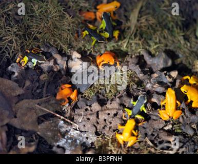 Madagascar, Perinet, Orange and painted mantella frogs in the Andasibe-Matandia National Park east of Antananarivo. - Stock Photo