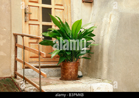 Aspidistra elatior - Stock Photo