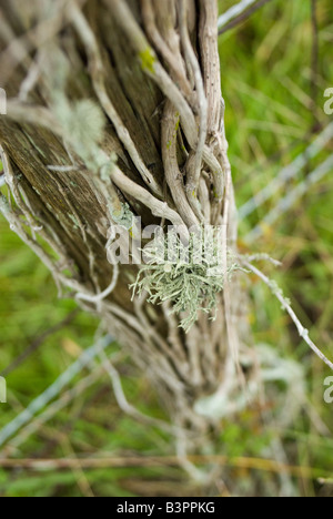 Lichens grow on dead vines on a fencepost - Stock Photo