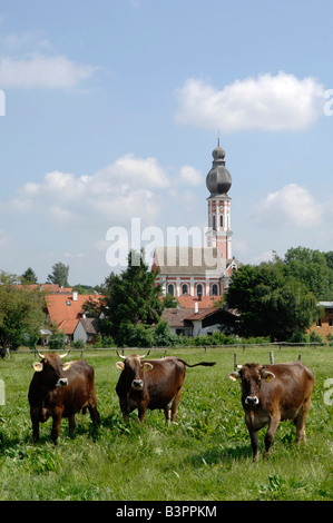 Cows on the meadow in front of a church, Hechenwang, Lake Ammersee, Upper Bavaria, Germany, Europe - Stock Photo