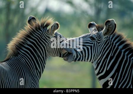 Grevy's Zebra (Equus grevyi), adult, pair, portrait, social behaviour, native to Africa - Stock Photo